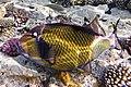 Drückerfisch.Giant Titan Triggerfish.DSCF6700ОВ.jpg