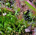 Drosera and Friends (12558976744).jpg