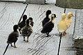 Ducklings (15544369688).jpg
