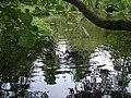 Ducks in Holywells Park - geograph.org.uk - 1360084.jpg