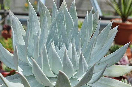 The succulent leaves of Dudleya brittonii are visibly coated with a 'powdery' white which is the epicuticular wax. Dudleya Brittonii.jpg