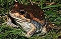 Eastern Banjo Frog (Limnodynastes dumerili) (8725004803).jpg