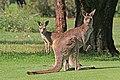 Eastern Grey Kangaroo JCB.jpg