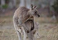 Eastern Grey kangaroo, Majura Nature Reserve ACT 04.jpg