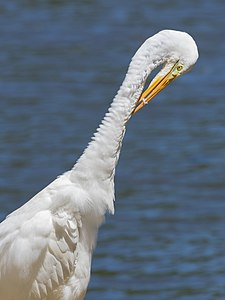 Eastern great egret stretching and preening