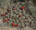 Echinocereus triglochidiatus 7.jpg