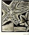 Echinodermes (astéries, ophiures et échinides) (1912) (20951999639).jpg