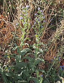 Echium salmanticum 20140822 i.jpg