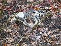 Eine Tote Katze nach der Schnee schmelze - panoramio.jpg