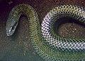 Elaphe climacophora Ile aux Serpents 201108 1.jpg