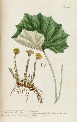 Elizabeth Blackwell (illustrator) - Illustration from A Curious Herbal