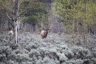 Jackson Hole - Elk in wild