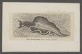 Elysia viridis - - Print - Iconographia Zoologica - Special Collections University of Amsterdam - UBAINV0274 080 13 0003.tif