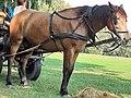 Em - Equus caballus - 45.jpg