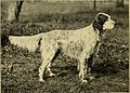 English setter - Laverack bloodline.jpg