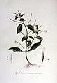 Epilobium roseum — Flora Batava — Volume v6.jpg