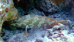 Description de l'image  Epinephelus_merra_by_Ewa_Barska.jpg.