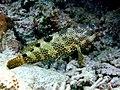Epinephelus spilotoceps Maldives.JPG