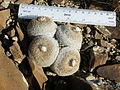 Epithelantha micromeris (5658481698).jpg