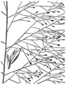 Eragrostis capillaris HC-1950.png