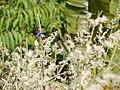 Eranthemum roseum (6361778491).jpg