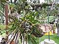 Eria excilis-2-bsi-yercaud-salem-India.jpg