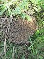 Erinaceus europaeus, Lalinačka slatina, Srbija (7).jpg