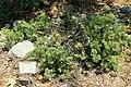 Eriogonum arborescens - Manhattan Beach Botanical Garden - Manhattan Beach, CA - DSC01248.jpg