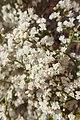 Eriogonum corymbosum kz05.jpg