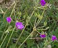Erodium manescavii - Jardin des Plantes.jpg