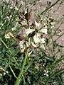 Eruca vesicaria. Big Bend National Park, Hwy 1776. March 2004 (B0191716DAC14B96977E54D516E01CCC).JPG
