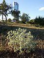 Eryngium campestre sl13.jpg
