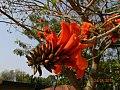 Erythrina latissima04.jpg