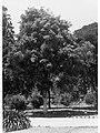 Eucalyptus Calophylla, Botanic Gardens(GN12410).jpg