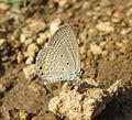 Euchrysops cnejus - Gram Blue 07.jpg
