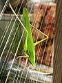 Euconocephalus thunbergi on grass door.jpg