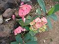 Euphorbia74545.JPG