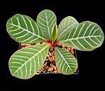 Euphorbia leuconeura3 ies.jpg