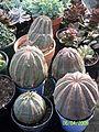 Euphorbia obesa (3425008464).jpg