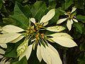 Euphorbia pulcherrima, white.jpg