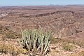 Euphorbia virosa- Gifboom - poison tree Fish river canyon-0464 (2) - Flickr - Ragnhild & Neil Crawford.jpg