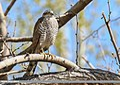 Eurasian Sparrowhawk (Accipiter nisus) (35037251403).jpg