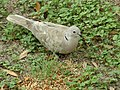Eurasian collared dove 2018 003.jpg