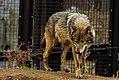 Eurasian wolf (33078962864).jpg
