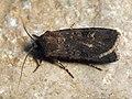 Euxoa nigricans - Garden dart - Земляная совка черноватая (41045507892).jpg