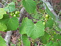 FL - Grape Vine (6298260465).jpg
