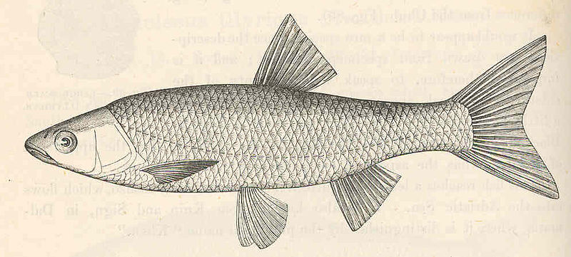 File:FMIB 48058 Leuciscus svallize (Heckel and Kner).jpeg