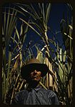 FSA borrower who is a member of a sugar cooperative 1a34015v.jpg