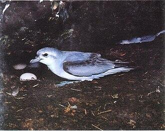 Tasman Island - Image: Fairy Prion with egg