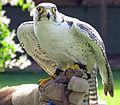 Falco biarmicus -Trotters World of Animals, Bassenthwaite, Cumbria, England-8a.jpg